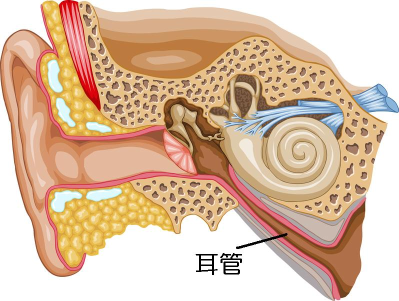 Ear Cross-section